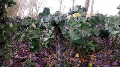 Kalerosse w uprawie na polu