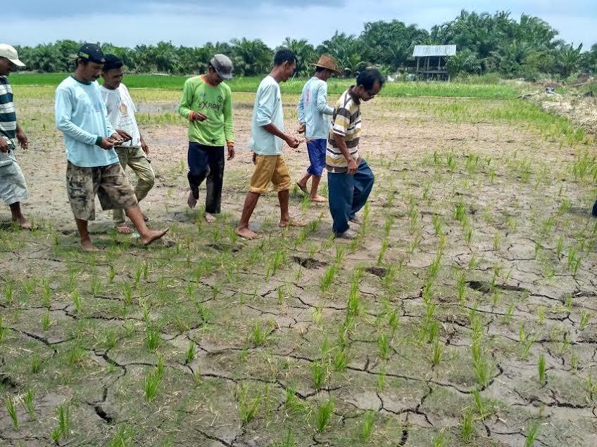 Kumpulan Celoteh Rakyat Petani Asahan Terancam Gagal Panen