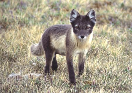 Tundra Arctic Fox In Summer Doll Diaries: 1...