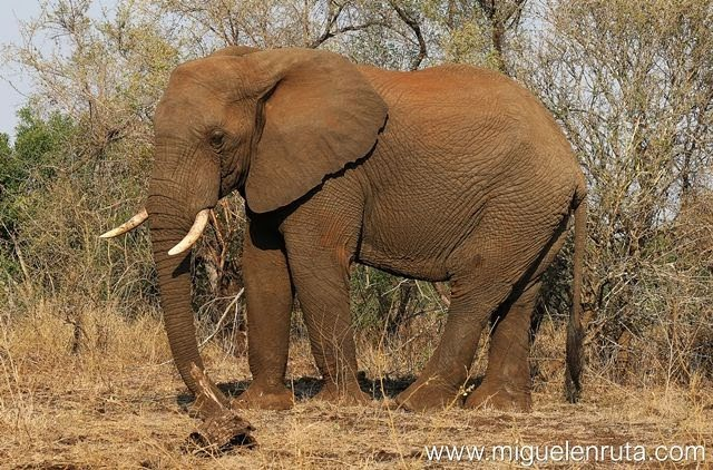 Safari-por-libre-en-Kruger-Shukuza-Elefante