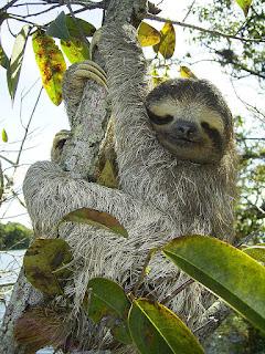 sloth berjari tiga hewan paling lambat