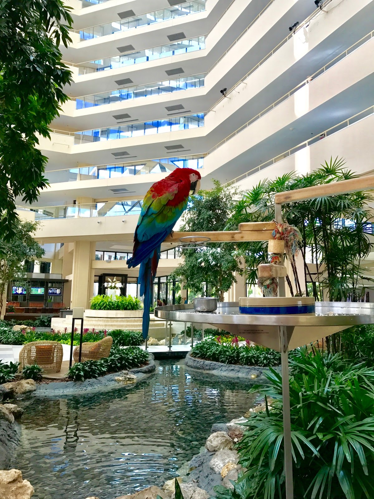 At Registration I Met Hyatt Regency Grand Cypress Ambador Merlot The Parrot Am Actually Terrified Of Birds So Didn T Get Too Close But He Was Very