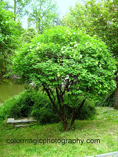 Snowball viburnum shrub with green flower buds