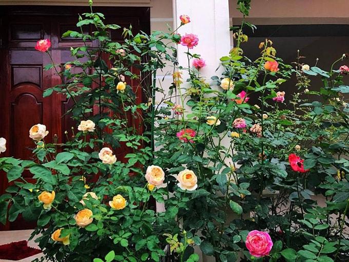 Sân vườn 50 m2 phủ kín hoa hồng của bà mẹ Hòa Bình -2