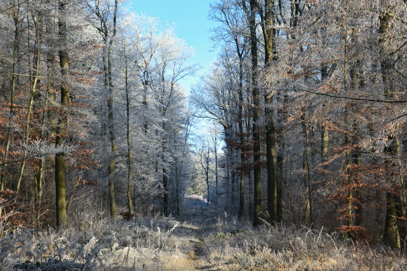 Walk in a forest with frost all over the trees and a blue sky