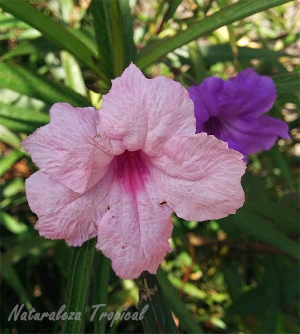Variedad rosa de una flor del género Ruellia
