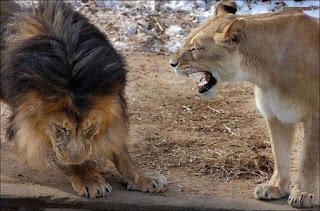 Título da foto: Até no reino animal! À esquerda, considerado o rei dos animais, um leão imponente em posição de recuo, cabeça baixa, juba grande e preta, olhar direcionado ao chão, patas arredondadas, à direita, próximo a ele, a leoa de pelo amarelo claro e curto, em pé, orelhas para trás, olhos quase fechados, focinho bem franzido, bocarra aberta evidenciando os fortes caninos.