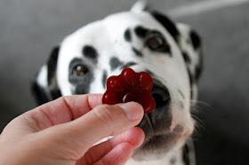 Dalmatian dog begging for a paw shaped carob gelatin gummy dog treat