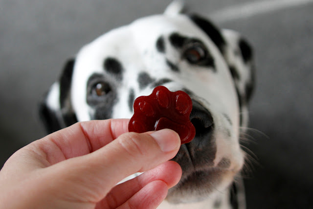 Dalmatian dog begging for a paw shaped carob gelatin gummy dog treat