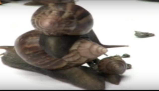 El caracol africano se repruce muy rápido