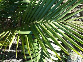 Carpentaria acuminata - Palmier du golfe de Carpentarie - Carpentaire acuminé