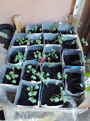 Quando coltivare il cavolo nero in un orto biologico