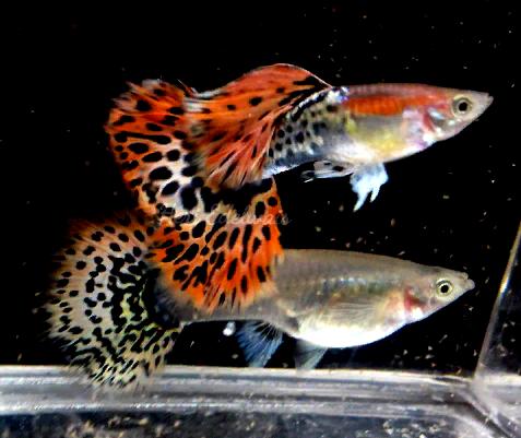 Cara Budidaya Ikan Molly Di Ember - InfoAkuakultur.com