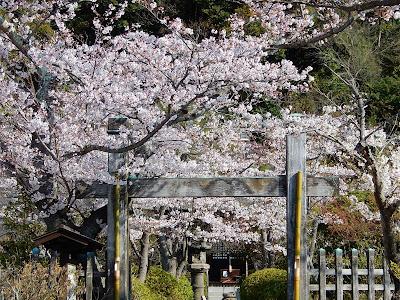 明王院の桜