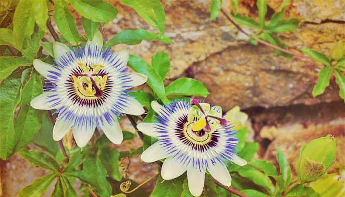 Planta trepadora passiflora