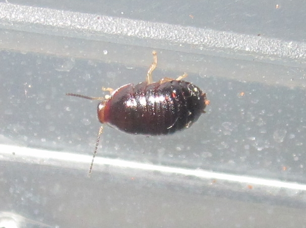 C.pygmaea%252332.JPG