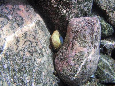 Seegurke © Canarian Sea