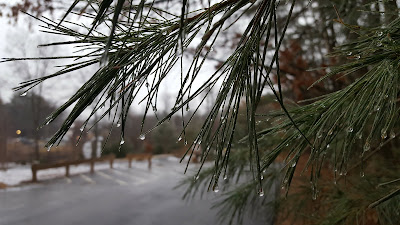 frozen water drops on the evergreen needles