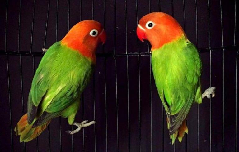 Ternak Lovebird Harga Fashion