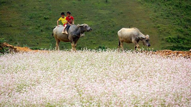 Top destinations to enjoy buckwheat blooming in Vietnam 3