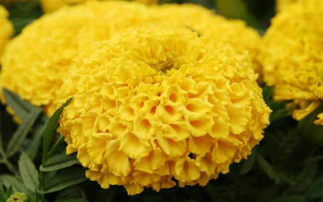 Pictures Of Flowers Marigold
