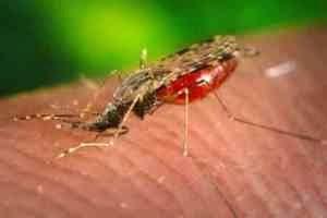 Самка малярийного комара
