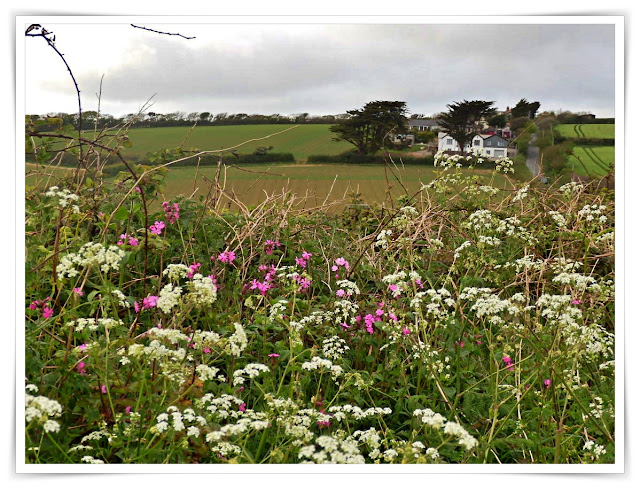 hedgerows of wild flowers, Cornwall