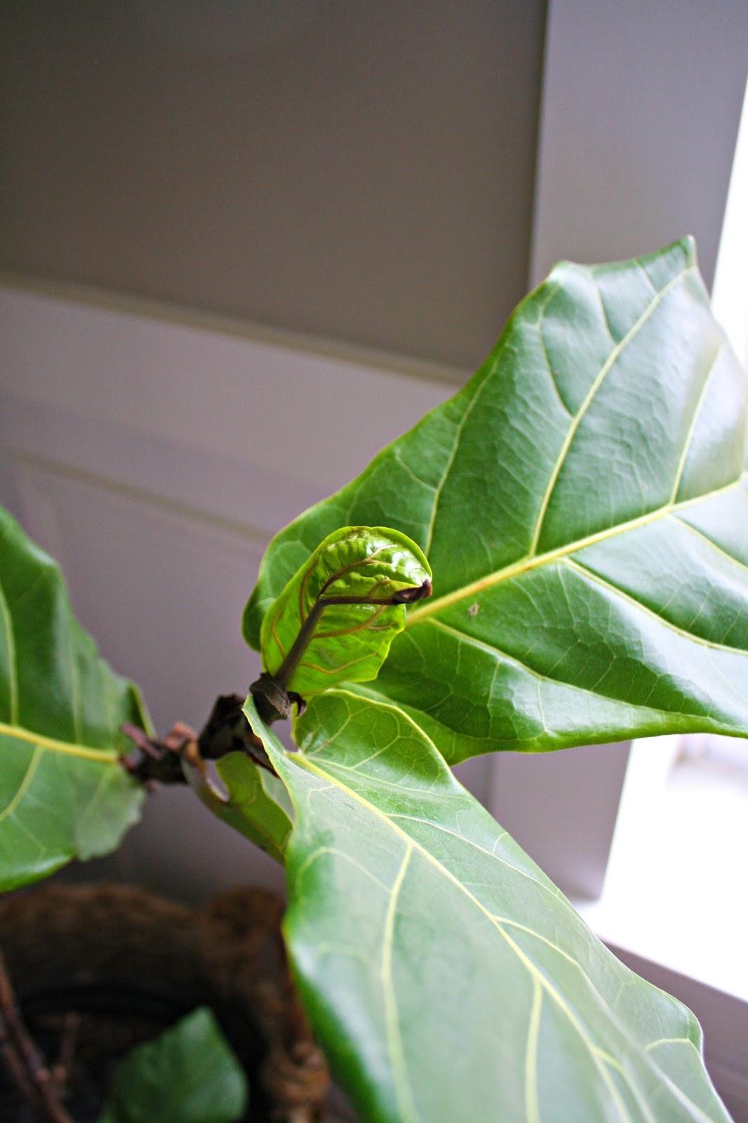 Fiddle Leaf New Growth