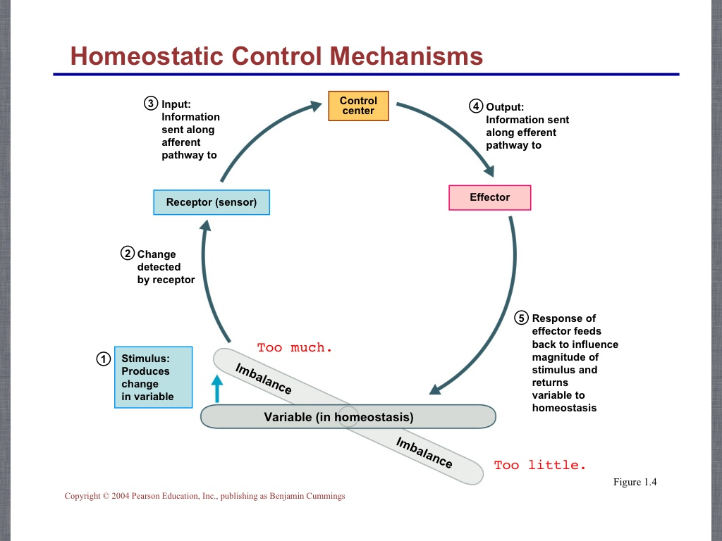 WHAT IS HOMEOSTASIS |The Garden of Eaden