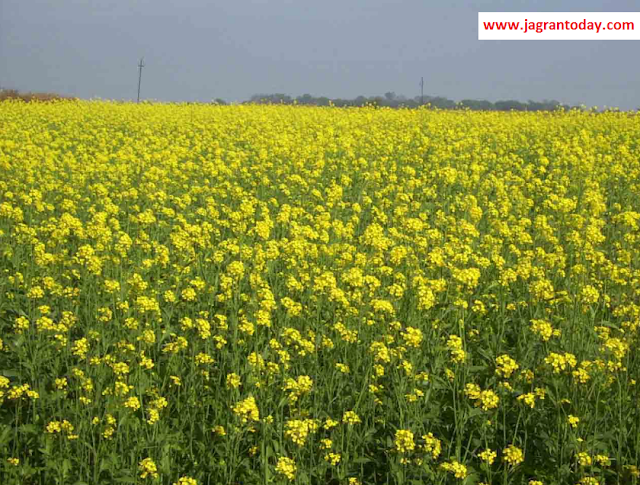 Mustard Oil Increases Immunity Power