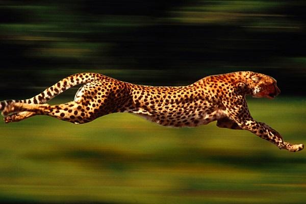 Çita Hayvanı Özellikleri