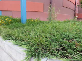 Picture of nutsedge plants growing around juniper plants in a landscape planter box.