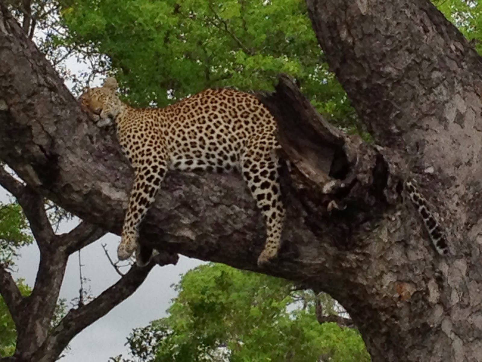 Sabi Sands - Two loud vehicles circle the leopard and he's still sleeping