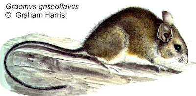 Gray leaf eared Mouse