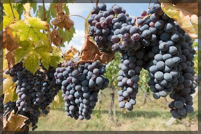 Raisins de la vigne