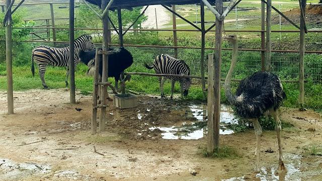 Kuda Belang dan Burung Unta di Bukit Gambang Safari Park