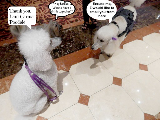 Poodles meeting
