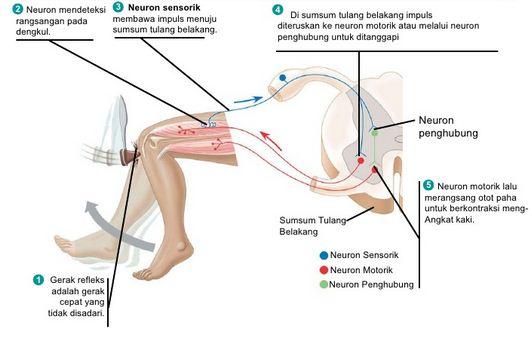 Pengertian Sistem Saraf, Fungsi, Anatomi serta Susunan Sistem Saraf Pusat dan Saraf Tepi pada Manusia