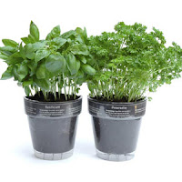 выращивание кинзы на подоконике