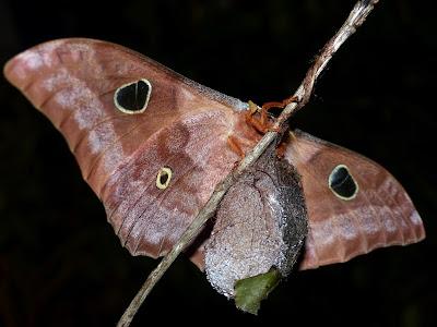 Antheraea godmani female