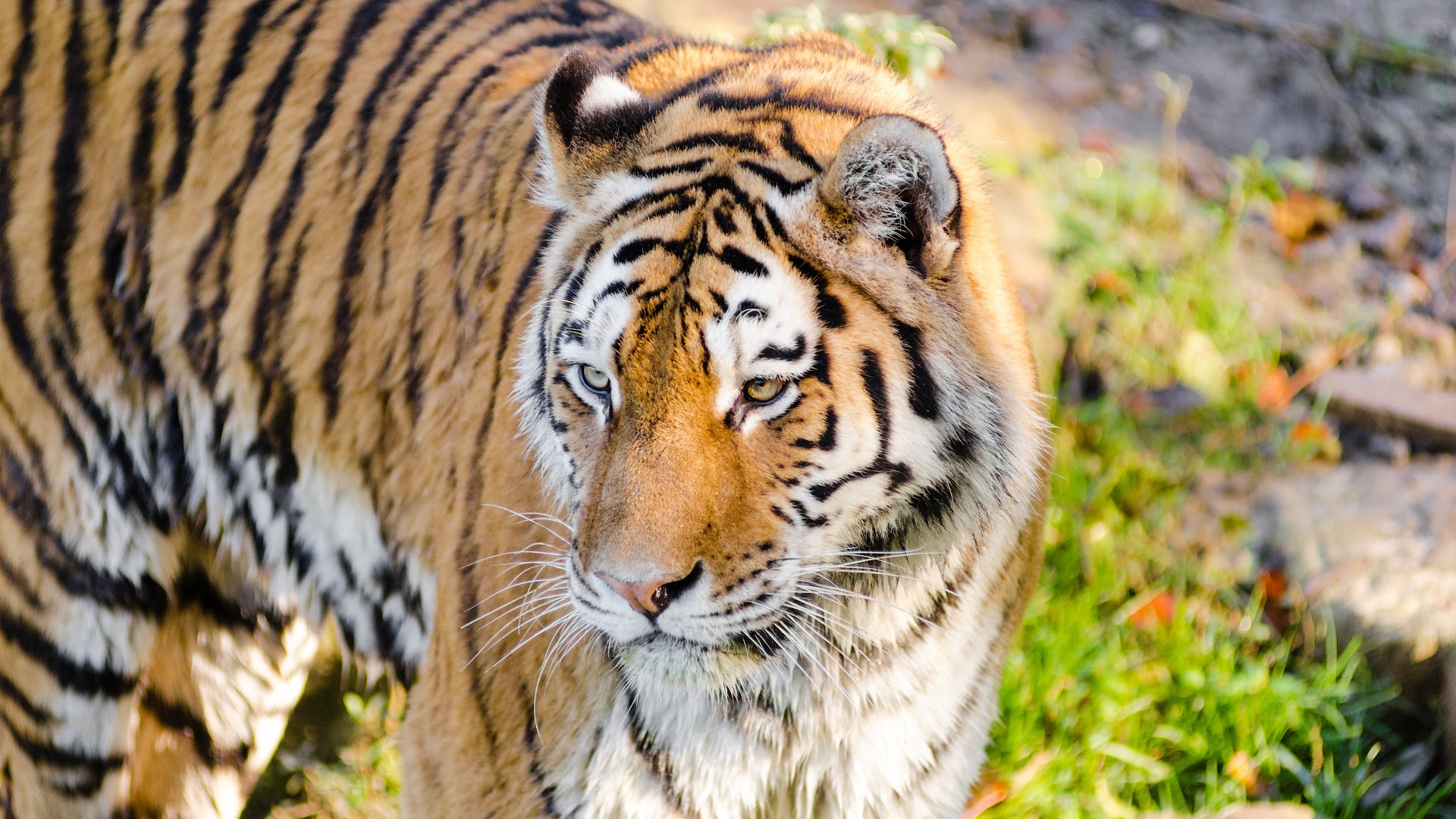ultra high definition wallpapers tigers - photo #19