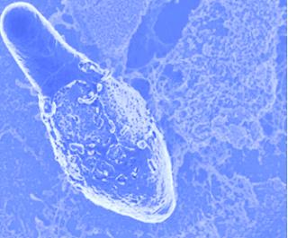 Genus Clostridium merupakan contoh genus yang termasuk ke dalam batang gram positif yang terdiri atas bakteri pembentukan spora yang bersifat anaerobik obligat yang tak tahan hidup bila terkena oksigen. Beberapa diantaranya mengeluarkan toksin yang kuat.