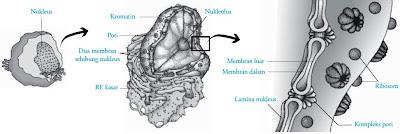 Struktur nukleus