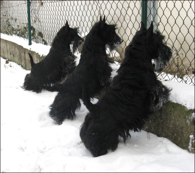 scottish terrier don t scottish terrier suncatcher vitraux chien pinterest 4715