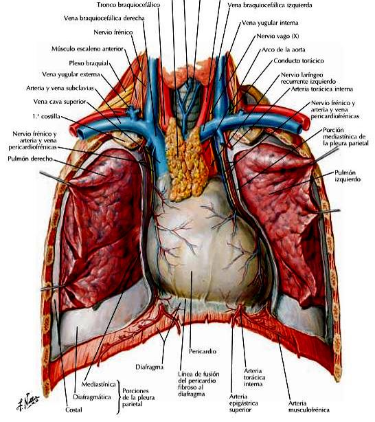 El corazón (Anatomía) | Portal de Odontología