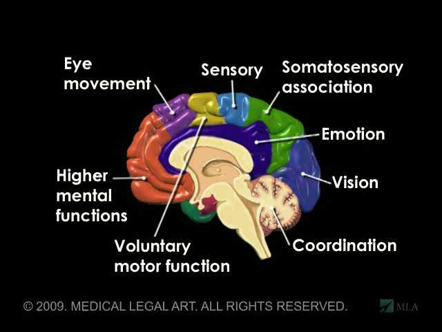 ��� emotional brain �������� brain anatomy and functions