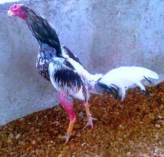 gallo para nabaja corta