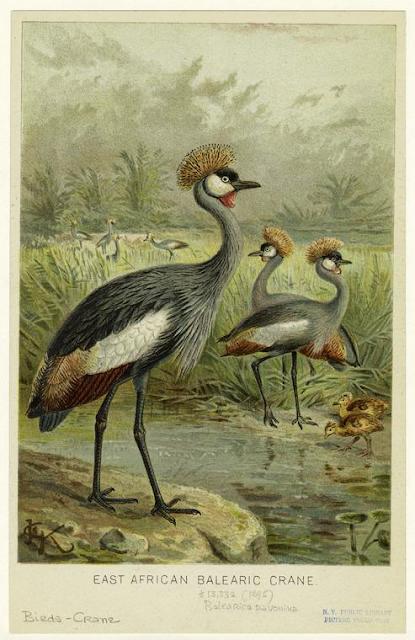 East African balearic crane, 1895