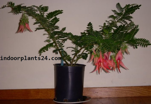 Clianthus Puniceus Leguminosae PARROT'S BEAK Plan