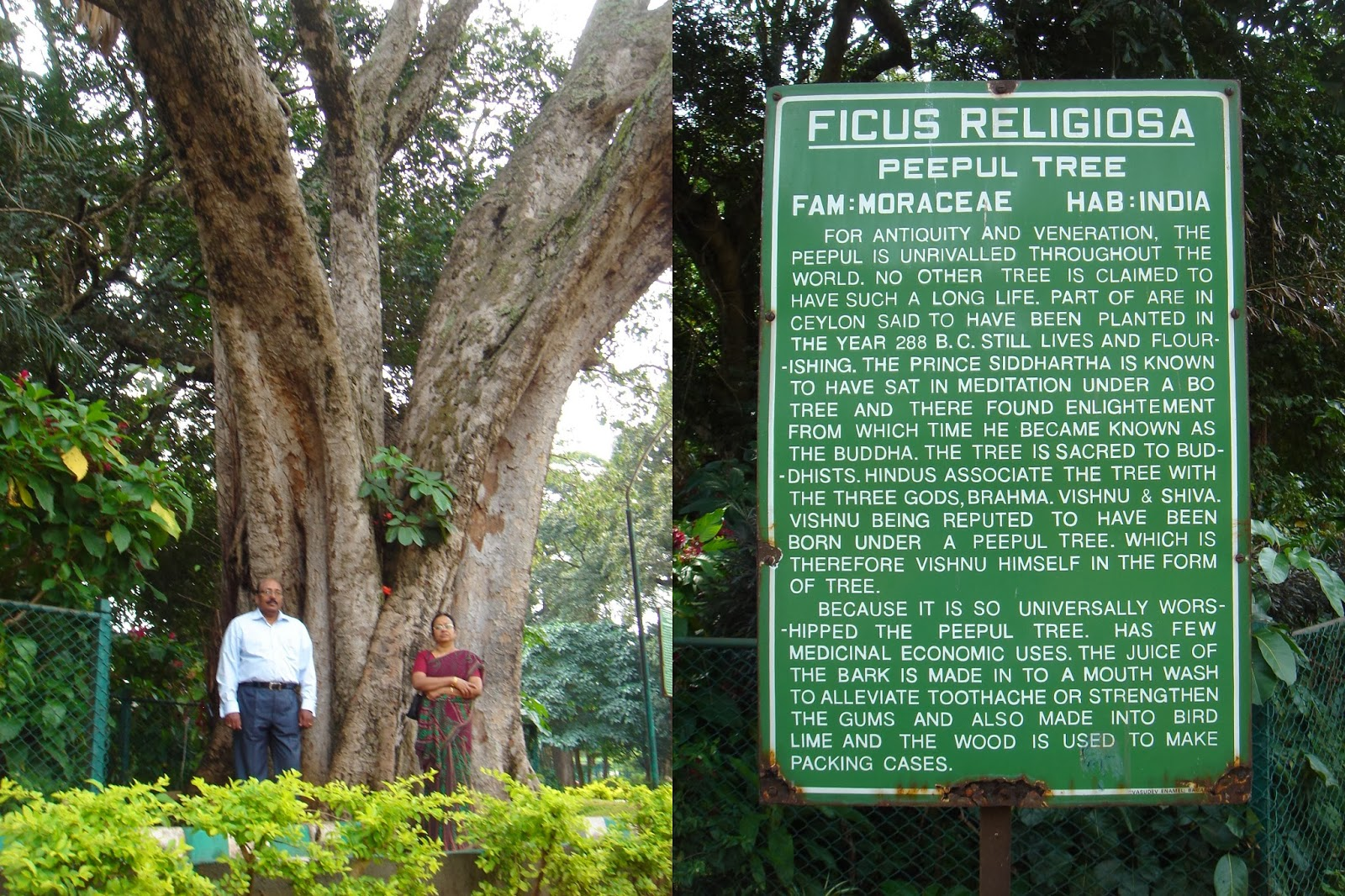 Raghu's column!: With the most revered tree!